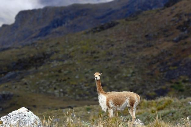 Die vicuña (vicugna vicugna)