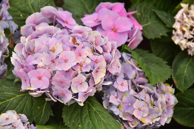 Die violetten hydrangea-blumen auf dem hinterhof