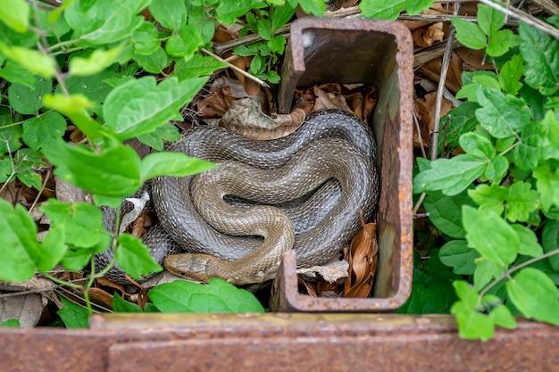 Die viper versteckte sich an einem abgelegenen ort in der nähe des eisens.