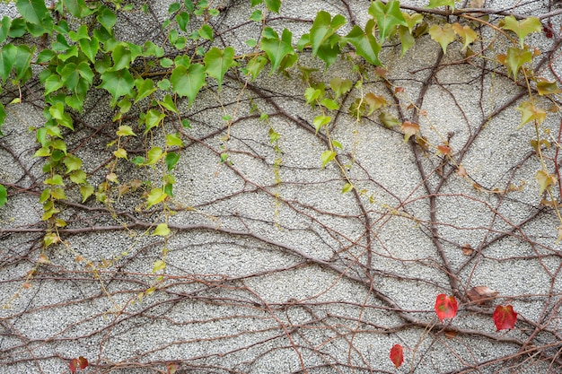 Die wand ist aus ziegeln und dann weiß gestrichen. es gibt schlingpflanzen an der linken wand.