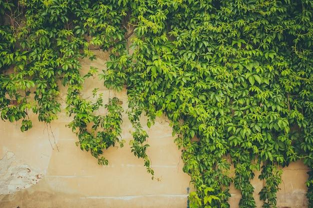 Die wand von grünen blättern bedeckt