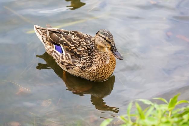 Die weibliche ente, die in einem teich nahe dem ufer schwimmt
