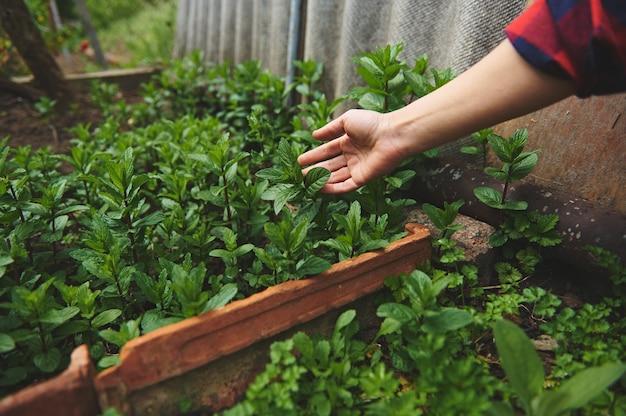 Die weibliche hand des gärtners berührt die blätter der minze und pfefferminze, die in einem landgarten unter freiem himmel wachsen