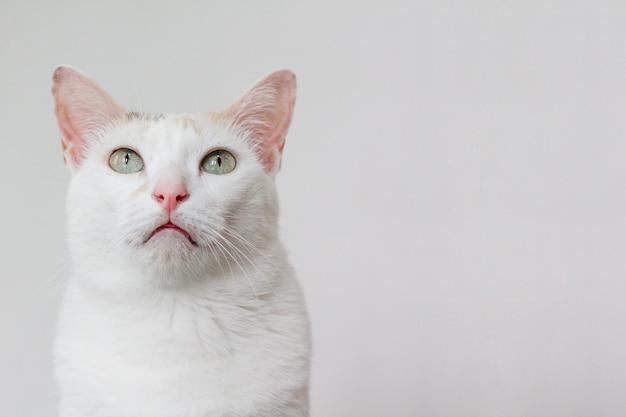 Die weiße katze starrte etwas über sich an