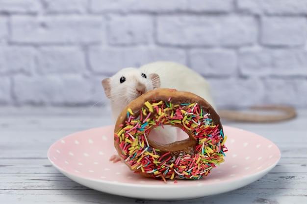 Die weiße ratte schnüffelt und isst einen süßen bunten donut. nicht auf diät. geburtstag.