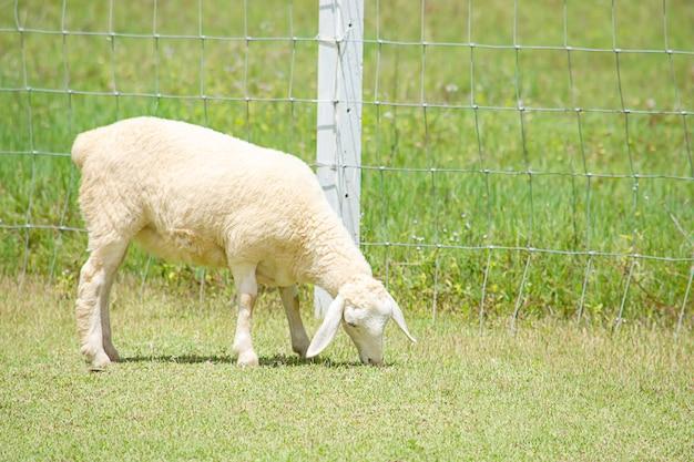 Die weißen schafe fressen gras auf der farm.