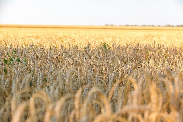 Die weizenfelder am sonnigen sommertag