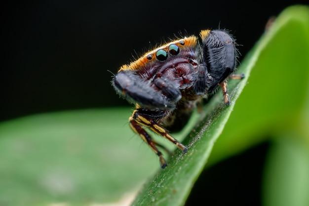 Die wespe-mimik springende spinne oder die rhene flavicomans auf grünem blatt