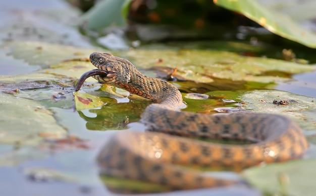 Die würfelnatter (natrix tessellata) hat einen fisch gefangen
