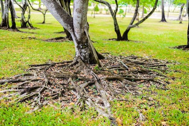 Die wurzeln des banyanbaumes