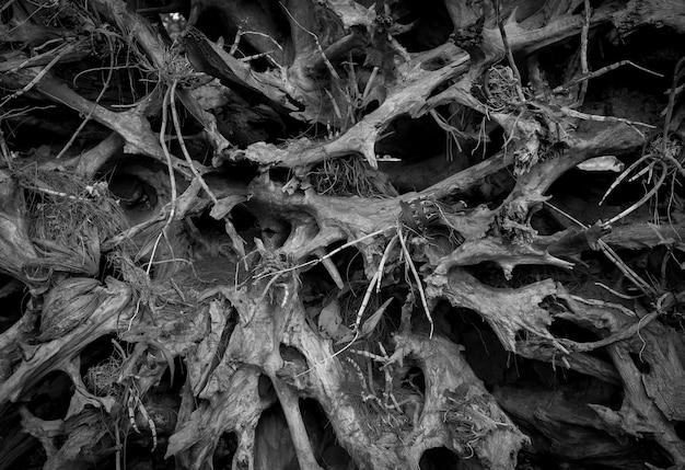 Die wurzeln des baumes für den hintergrund, schwarz und weiß