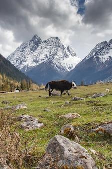 Die yaks im naturschutzgebiet four maiden's mountain (mt. siguniangshan) sind ein unberührter wildnispark in westchina und der autonomen präfektur qiang, provinz sichuan, china