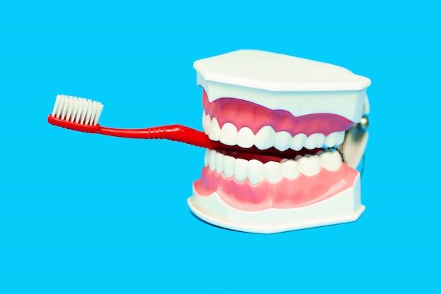 Die zahnbürste wird in den mund des medizinischen kiefermodells eingeführt.