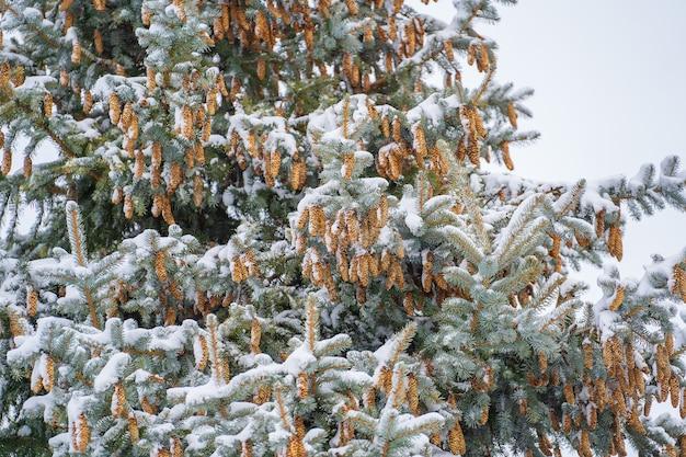 Die zapfen auf der kiefernkrone. kiefernkokon im winter, nahaufnahme