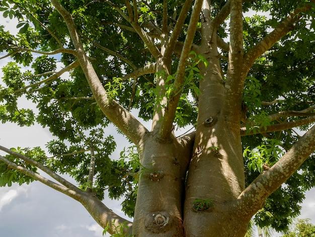 Die zweige des baobab-baumes