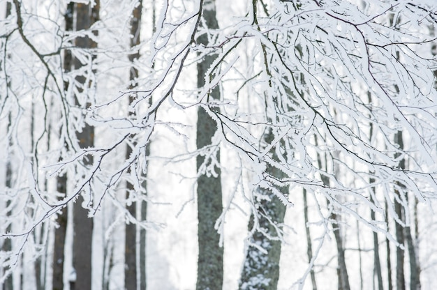 Die zweige eines baumes im schnee und frost. gefriertag.