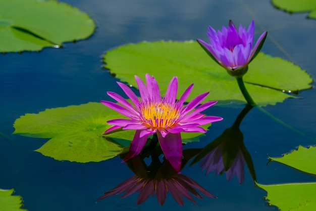 Diese schöne seerose oder lotusblume wird durch die satten farben ergänzt