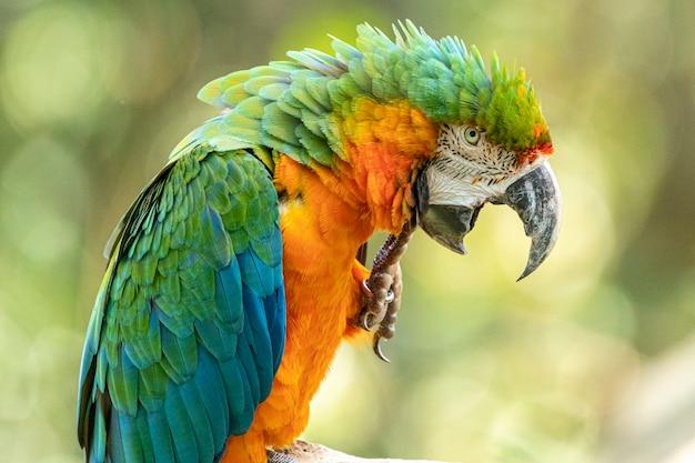 Dieses exemplar war das ergebnis der kreuzung eines großen grünen ara und eines scharlachroten ara
