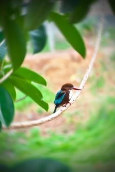 Dieses ist ein bild eines allgemeinen eisvogelvogels, der herum gefunden werden kann