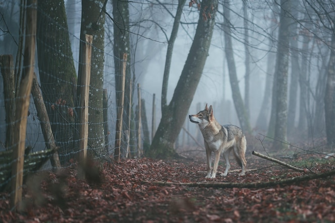 Digoin, frankreich - 05. mai 2020: nebeliger wolf