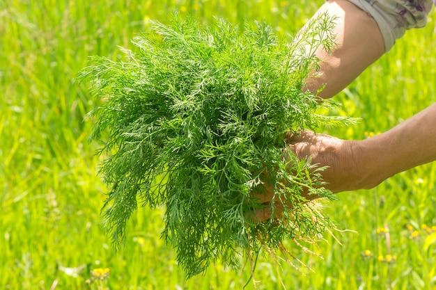 Dill in der hand. hände gärtner abgenutzte hände. landwirte hände mit