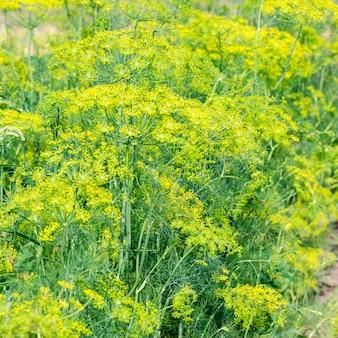 Dill während der blüte in einem ländlichen gemüsegarten
