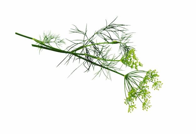 Dillbündel isoliert auf weißem hintergrund. dillkräuterblätter. blühende pflanze dill.