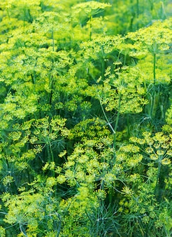 Dillpflanze und blume als grüner hintergrund. blühender fenchel. blühende dillkräuterpflanze im garten.