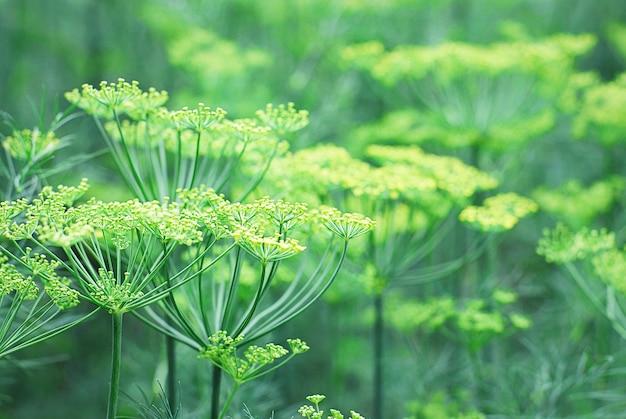 Dillpflanzen blühen im garten, wachsen bio-kräuter