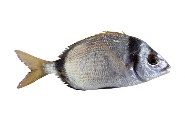 Diplodus gemeiner fischbrachsen mit zwei bändern