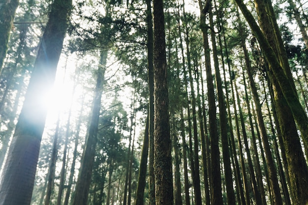 Direkte sonneneinstrahlung durch zedern im wald im alishan national forest recreation area.