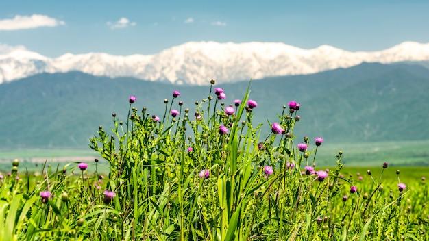 Distelblumen im hochland