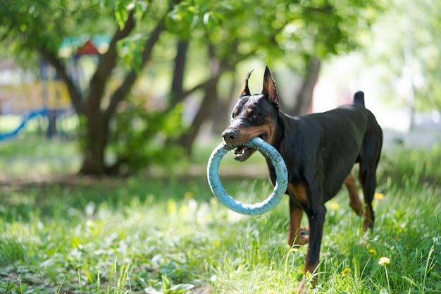 Dobermann hund auf natur. aktives haustier, das im park mit spielzeug spielt