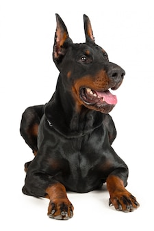 Dobermann isoliert
