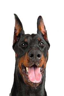 Dobermann mit der zunge aus dem mund