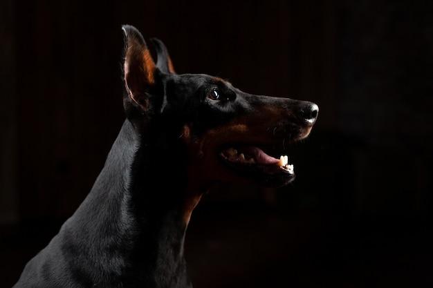 Dobermann pinscher gegen schwarze vorderansicht