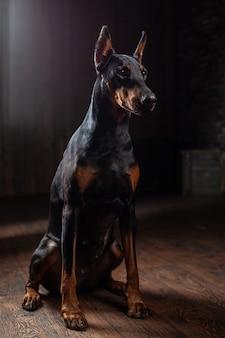 Dobermann pinscher gegen vorderansicht des schwarzen hintergrundes
