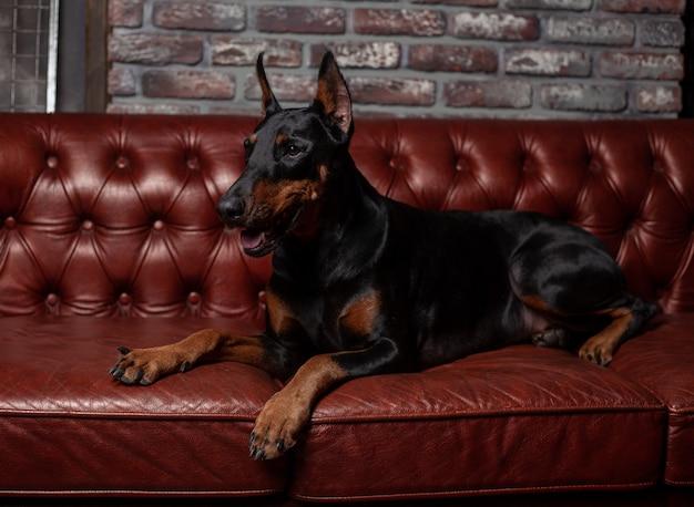 Dobermann pinscher. hund auf einem braunen hintergrund
