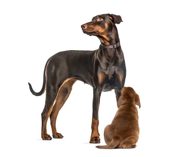 Dobermann pinscher, labrador retriever welpe schaut auf, vor weiß