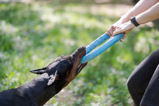 Dobermann pinscher spielt mit einer frau. ausbildung des hundes.