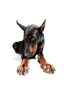 Dobermannhund lokalisiert auf weißem hintergrund im studio. das haustierkonzept