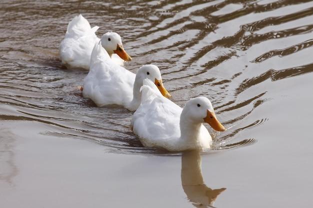 Dodomestic weiße enten, die im see schwimmen. selektiver fokus.