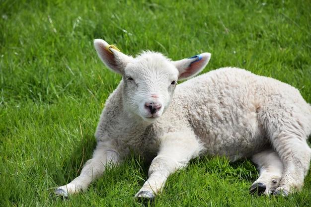Dösendes lamm im frühling, das auf einem feld ruht