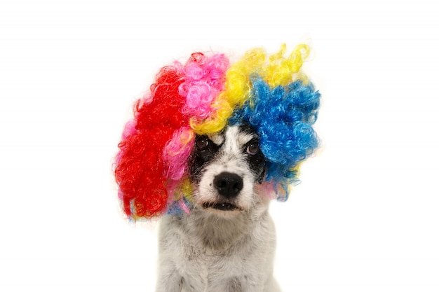 Dog clown weating bunte perücke für neujahr oder karneval. isoliert