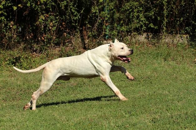 Dogo argentino hund