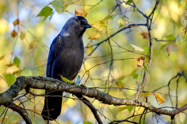 Dohle am baum, corvus monedula
