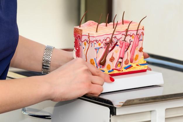 Doktor dermatologe oder trichologe, der plastikmodell des menschlichen hautquerschnitts hält und zeigt