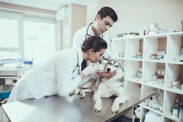 Doktor und krankenschwester, die hundeohren mit otoscope überprüfen