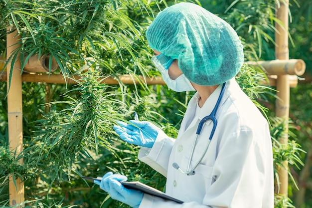 Doktor wissenschaftler in sativa cannabis pflanzenfarm forschung für die sichere verwendung von thc-medikamenten behandlung im krankenhaus.