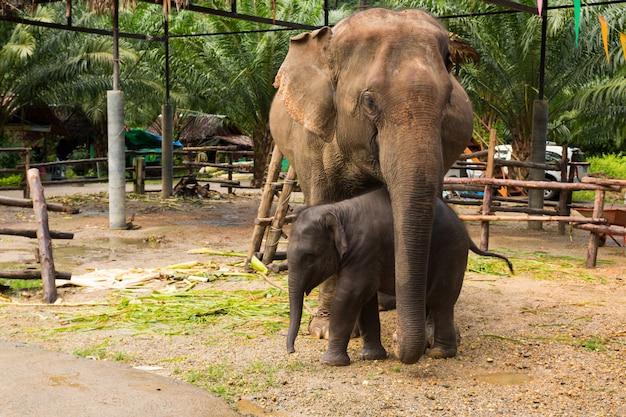 Domestizierte asiatische elefantenmutter und -baby